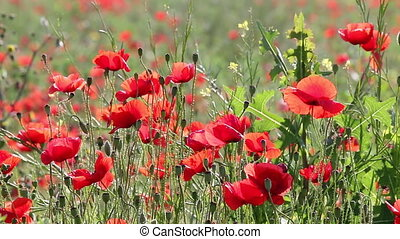 red poppies flower closeup