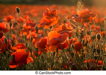 red poppies growing in a field