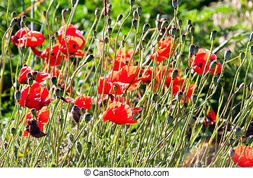 red poppies growing in a field on sunny day