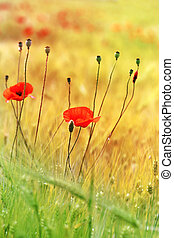 red poppy growing in the field in the green grass