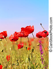 red poppies growing