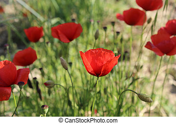 Red Poppies growing wild in the Tuscan region of Italy