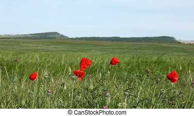 Red Poppies In A Wheat Field