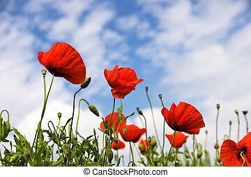 Red poppies in bloom on a sunny spring meadow