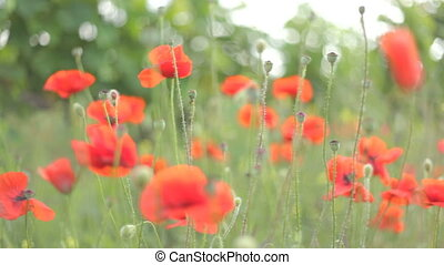 Red poppies in blossom moving on th