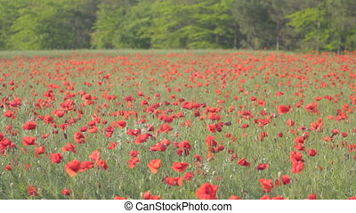 Red poppies in blossom swaying on the wind in green grass with furry and deciduous shrubs forest in the background.