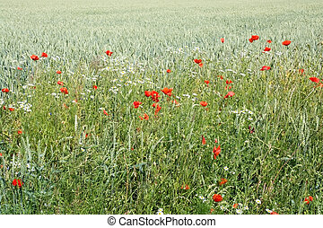 Red poppies in corn field