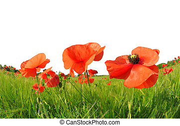 Red poppies in green barley field.