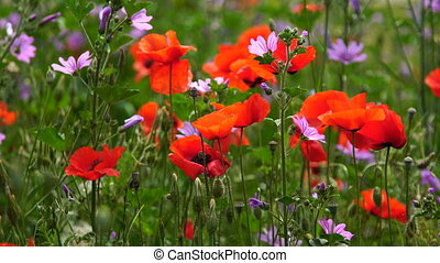 Red poppies in green grass