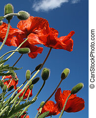 Red Poppies in May, from Below - Papaver somniferum flowers...