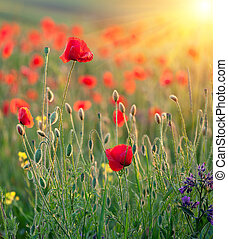 Red poppies in rays of the sun