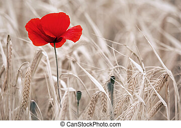 Red Poppies in Ripe Wheat Field