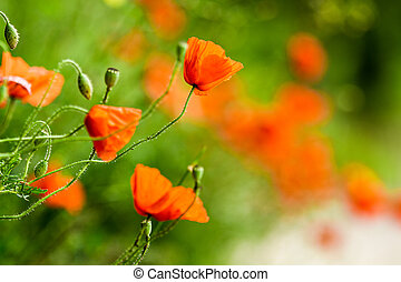 Red poppies in summer