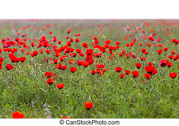 red poppies in the field as background