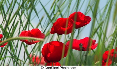 Red poppies in the field. Close up.