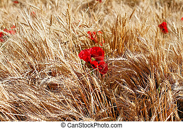 Red poppies in the field of dry cereals