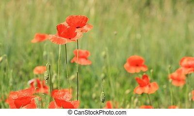 Red poppies in the field - Red poppies grow in the field