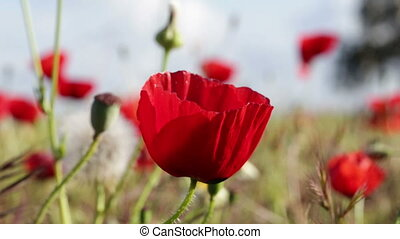 Red poppies in the wind.