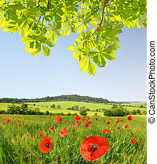 Red poppies in wheat field.