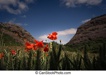 red poppies in wheat field with cloudy sky