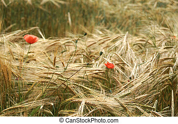 Red poppies in yellow wheat field