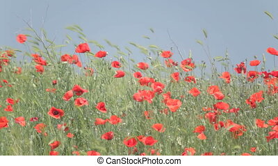 Red poppies mixed with weeds