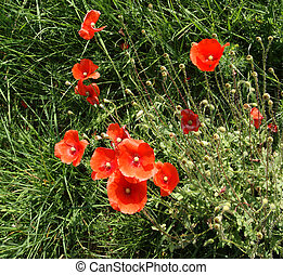 Red poppies on a background of green grass