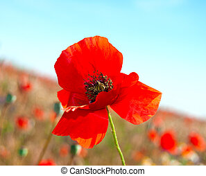Red poppies on a background of poppy field