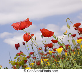 Red poppies on a cloudy sky