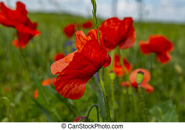 Red poppies on a green field background