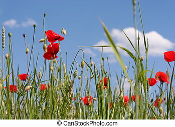 Red poppies on blue Sky, rural background