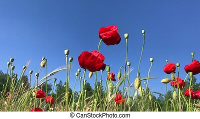 Red poppies on the background of the sky and the forest swaying in the wind on a summer day