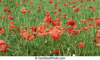 red poppies on the field, big flowers. slow motion - red...