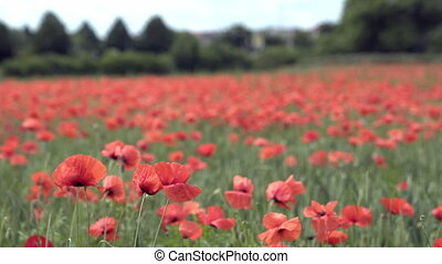red poppies on the field, big flowers.
