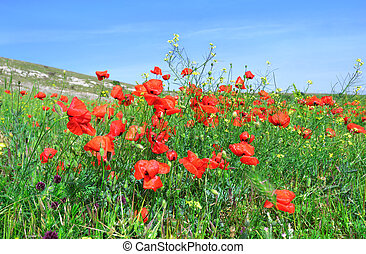 Red poppies on the green field