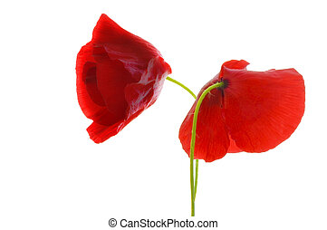 Red poppies on white isolated background