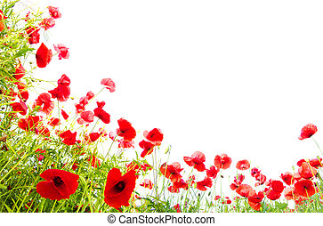red poppies on white - Field of beautiful red poppies...