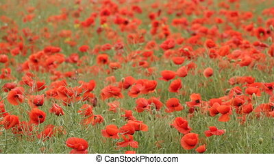 Red poppies - red poppies on the field swaying in the wind...