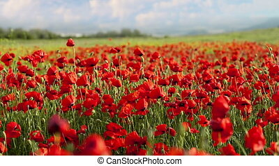 Red poppies swaying in the wind