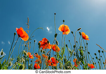 red poppies under sunny sky