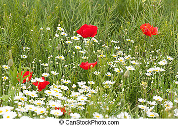 Red poppies with daisies