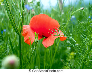 Red poppy among the grass