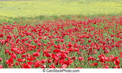 red poppy and yellow wild flowers