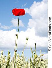 Red poppy corn field blue sky.