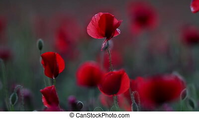 Red poppy field at evening
