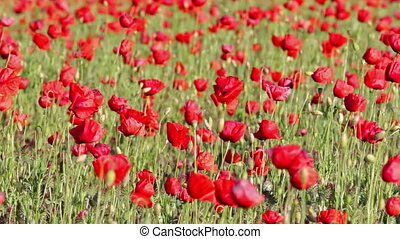 Red poppy field at spring