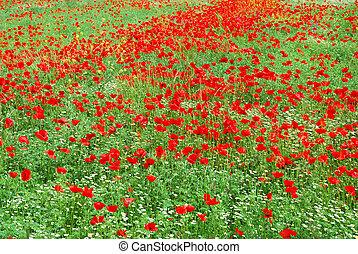 Red poppy field blooming in springtime