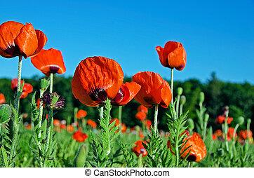 red poppy field in Michigan