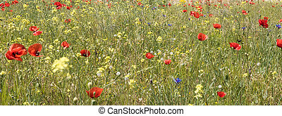 red poppy field scene