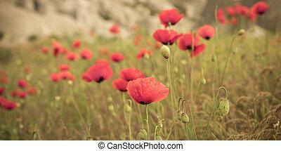red poppy field scene